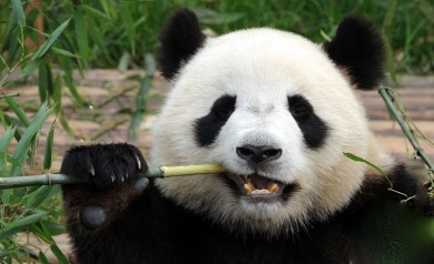 Chengdu Panda Breeding and Research Base